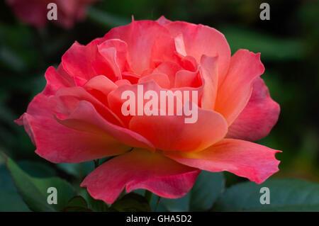 ... Rose, Rosa, Living Easy, Livinu0027 Easy,   Stock Photo