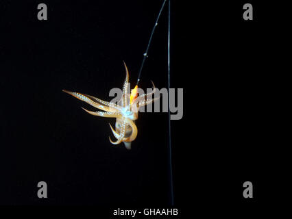 Japanese flying squid on night squid fishing. Japanese common squid or Pacific flying squid (Todarodes pacificus) - Stock Photo