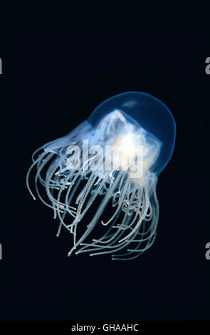 Clinging Jellyfish or Poisonous gonionemus (Gonionemus vertens) Sea of Japan, Far East - Stock Photo