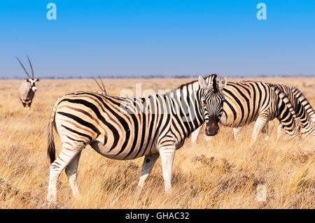 Group of Zebras  and Oryx in the Etosha National Park in Namibia, Concept for travel in Africa and Safari - Stock Photo