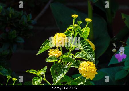 Yellow Lantana so happy growing in full sun - Stock Photo