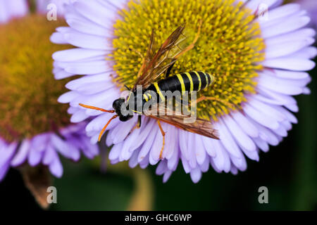 Figwort Sawfly Tenthredo scrophulariae feeding on Seaside Daisy flower - Stock Photo
