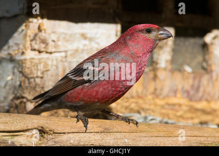 Pine Grosbeak (Pinicola enucleator), adult male at birdfeeder, Kaamanen, Lappland, Finland - Stock Photo