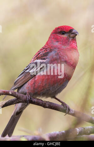 Pine Grosbeak (Pinicola enucleator), adult male perched on a branch, Kaamanen, Lappland, Finland - Stock Photo