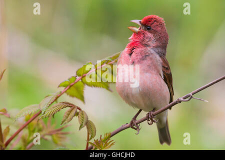 Common Rosefinch (Carpodacus erythrinus ) Adult male singing on a twig, Oulu, Northern Ostrobothnia, Finland - Stock Photo