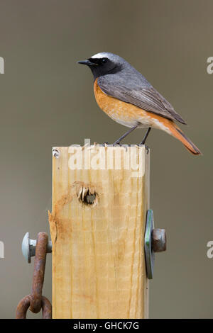 Common Redstart (Phoenicurus phoenicurus), adult male perched on a post, Sirma, Finmark, Norway - Stock Photo