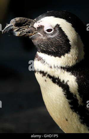 African penguin (Spheniscus demersus), also known as the jackass penguin and black-footed penguin in World of Birds. - Stock Photo