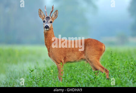 Wild roe deer standing in a field and looking at the camera - Stock Photo