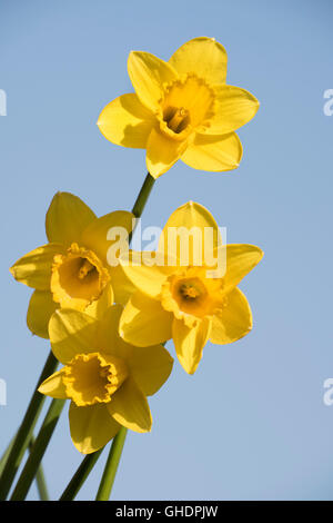 Daffodil Flower Narcissus sp - Stock Photo