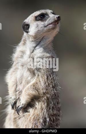 Meerkat Suricata suricatta UK - Stock Photo