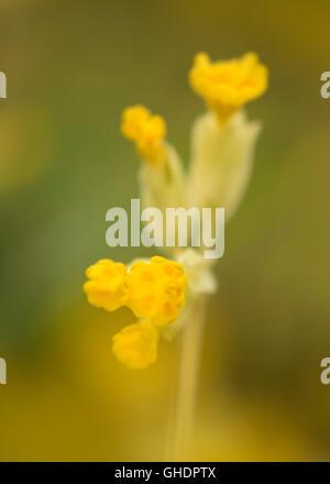 Cowslip Primula veris UK - Stock Photo