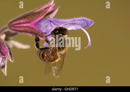 Honey Bee Apis mellifera - Stock Photo