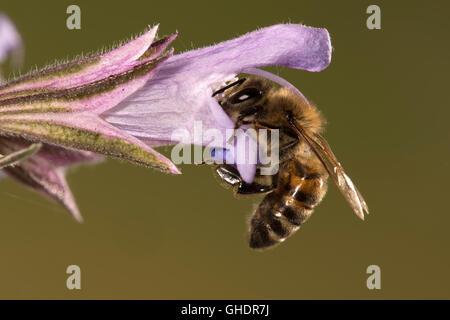 Honey Bee Apis mellifera - Stock Photo