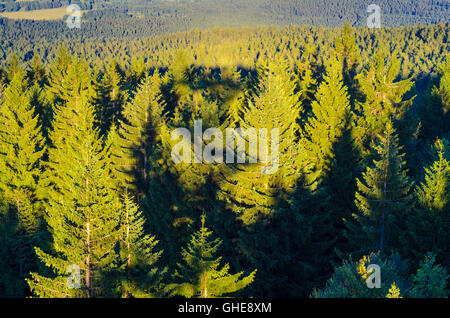 Norway spruce ( Picea abies ) in Bohemian Forest (Šumava), Austria, Oberösterreich, Upper Austria, Mühlviertel - Stock Photo