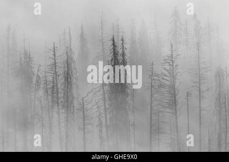 Charred lodgepole pines burned by forest fire silhouetted in the mist, Kootenay National Park, British Columbia, - Stock Photo