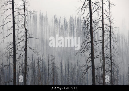 Charred tree trunks burned by forest in the mist, Kootenay National Park, British Columbia, Canadian Rockies, Canada - Stock Photo