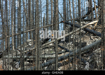 Charred tree trunks on mountain slope burned by forest fire, Jasper National Park, Alberta, Canada - Stock Photo