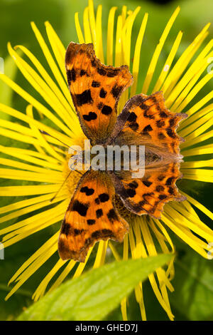 Polygonia c-album, the comma butterfly, feeding on the nectar of Inula hookeri in a summer garden - Stock Photo