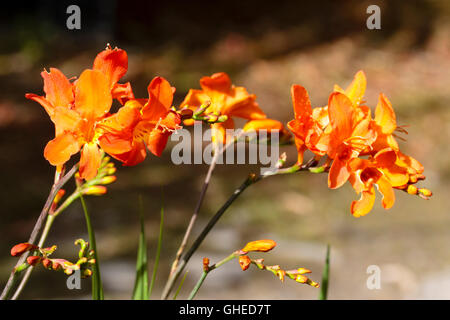 Upward facing orange red trumpets in the flower head of the hardy corm, Crocosmia 'Limpopo' - Stock Photo