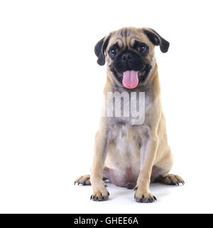 Pug dog puppy sitting and panting, isolated on white - Stock Photo