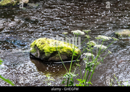 A moss covered rock in the river Almond, Livingston, West Lothian, Scotland - Stock Photo