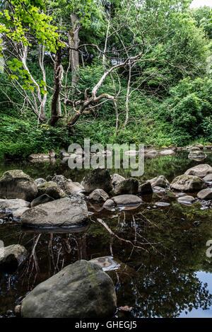 Dead tree reflected in the River Almond, Livingston, West Loathian, Scotland - Stock Photo