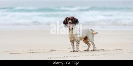 A Springer Spaniel enjoying the empty beach, white sands and blue sea frame a wet dog waiting for the next ball - Stock Photo