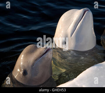 Two young Beluga whales in the ice-hole. White whale (Delphinapterus leucas) White Sea, Russian Arctic - Stock Photo