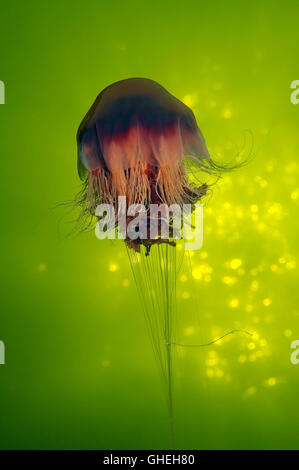 Lion's mane jellyfish, Giant jellyfish or Hair jelly (Cyanea capillata) White Sea, Russian Arctic - Stock Photo
