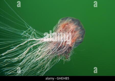 Lion's mane jellyfish, Giant jellyfish or Hair jelly (Cyanea capillata) White Sea, Russian Arctic - Stock Photo