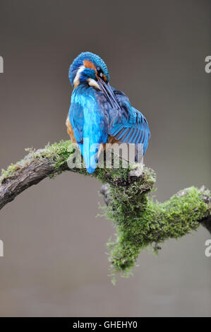 Common kingfisher (Alcedo atthis) - UK - Stock Photo