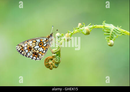 Small pearl bordered fritillary butterfly (Boloria selene) on bracken - UK - Stock Photo