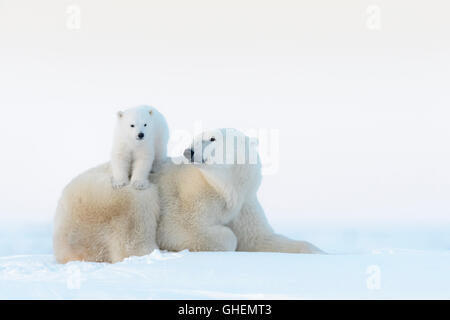 Polar bear mother (Ursus maritimus) lying down on tundra and playing with new born cub, Wapusk National Park, Manitoba, Canada Stock Photo