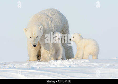 Polar bear mother (Ursus maritimus) walking on tundra with two cubs, Wapusk National Park, Manitoba, Canada - Stock Photo