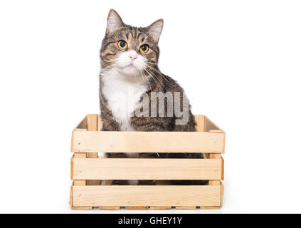 Grey house cat sits quietly in a wooden box, isolated on white - Stock Photo