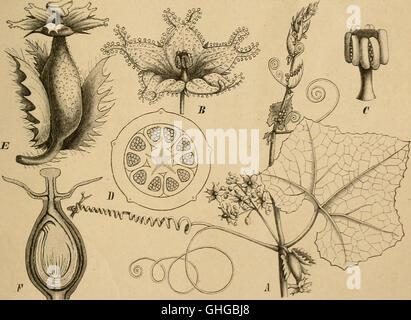Die Natürlichen Pflanzenfamilien - nebst ihren Gattungen und wichtigeren Arten, insbesondere den Nutzpflanzen (1887) - Stock Photo