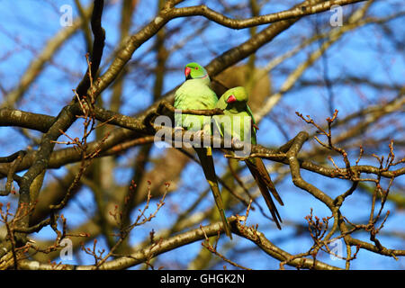 Rose-ringed or ring-necked parakeets (Psittacula krameri) in oak tree (Quercus robur) in winter, Knole Park, Kent, - Stock Photo