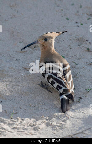 Brancaster, Norfolk, UK. 28th September, 2016. Hoopoes are medium-sized birds with long, broad, rounded wings, slightly - Stock Photo