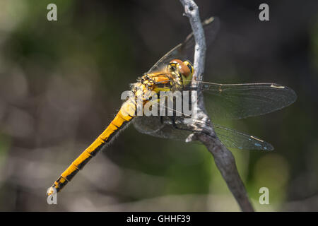 Female Black Darter dragonfly (Sympetrum danae) perched on a twig. - Stock Photo