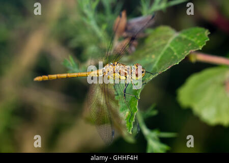 Immature Male Common Darter dragonfly (Sympetrum striolatum) perched on a leaf - Stock Photo