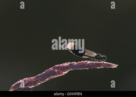 Male Banded Demoiselle damselfly(Calopteryx splendens) perched on a stem. Back lit. - Stock Photo
