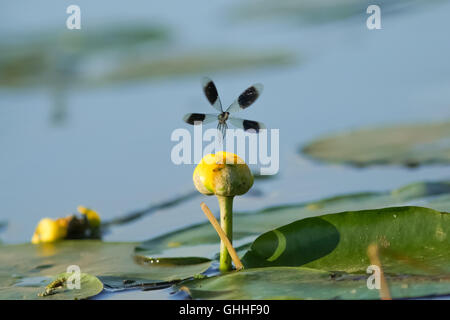 Male Banded Demoiselle damselfly(Calopteryx splendens) taking off from a lillypad flower - Stock Photo