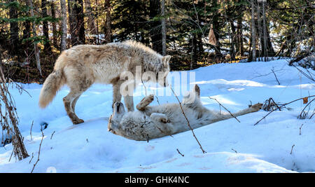 Wolves play in snow during a guided wolf walk in the forest and play in the snow near Golden BC. - Stock Photo