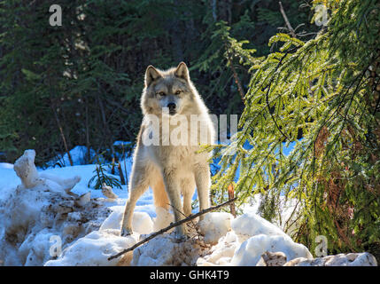 Wolves walk with visitors during a guided wolf walk in the forest and play in the snow near Golden BC. - Stock Photo