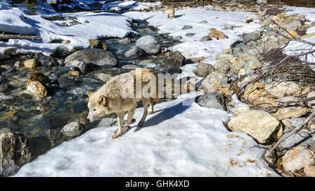 Near a stream, wolves walk in a forest near Golden BC. - Stock Photo