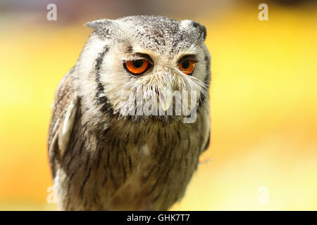 portrait of a young gray owl against a yellow background - Stock Photo