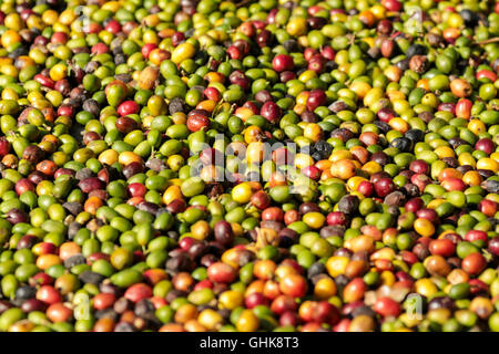 Coffee beans spread on the ground - Stock Photo