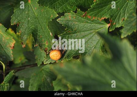 Araneus marmoreus. Spider with big yellow abdomen  sits on the currant leaf. - Stock Photo