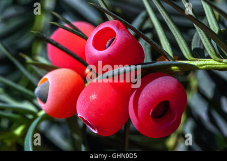 Taxus baccata, European yew, shoot with mature cones, Yew berries close up - Stock Photo