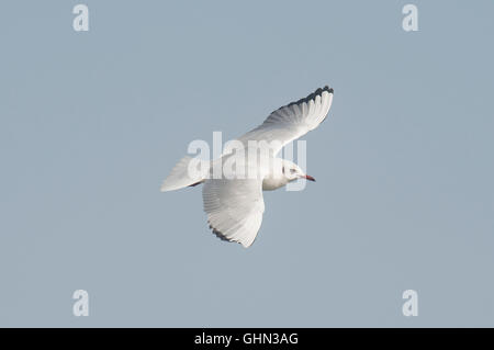 Black Headed Gull Chroicocephalus Ridibundus Bulgaria - Stock Photo